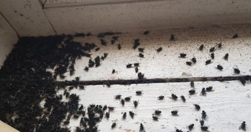 Cluster Flies Fast Response Pest Control In Whitby
